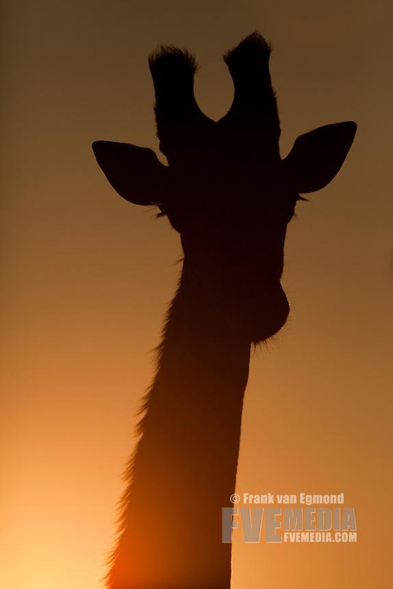 Giraffe (Giraffa Camelopardalis)..Silhouette, front profile...Hluhluwe Imfolozi Game Reserve..Kwazulu-Natal, South Africa..November 2010.