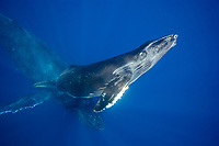 A mother and calf pair of humpback whales, Megaptera novaeangliae, off the island of Maui, Hawaii.