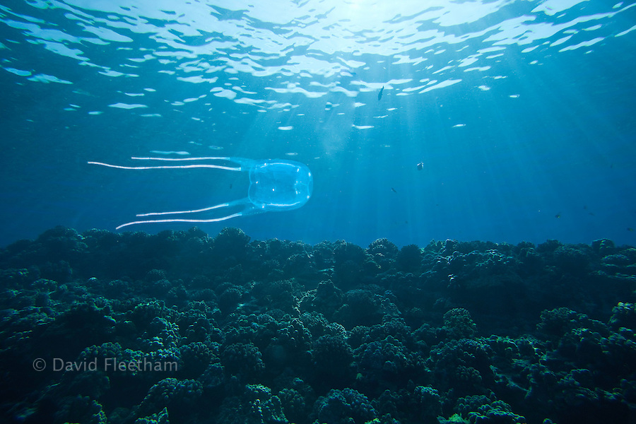 Box jellyfish belong to the invertebrate Phylum Cnidaria, a diverse group of stinging animals whose members all possess stinging cells for feeding and protection. Hawaii.
