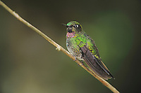 Tourmaline Sunangel (Heliangelus exortis), male perched,Papallacta, Ecuador, Andes, South America