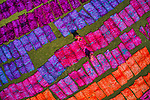 Pictured: Thousands of multi-coloured sheets of cotton are delicately laid out to dry under the blazing heat.  The patchwork of purple, pink, blue and orange stretches towards the horizon after workers unfold hundreds of metres of freshly-dyed cloth.<br /> <br /> The field, in Narayanganj, Bangladesh, is packed with the bright sheets which will be used to create traditional women's dresses.  Cotton cloths ready for dyeing are plunged into water before wax is used to create stunning multi-coloured Batik patterns.  SEE OUR COPY FOR MORE DETAILS.<br /> <br /> Please byline: Azim Khan Ronnie/Solent News<br /> <br /> © Azim Khan Ronnie/Solent News & Photo Agency<br /> UK +44 (0) 2380 458800