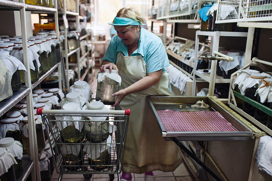 Udelnaya, Russia, 05/10/2012..Natalia Lepyoshkina at work in the International Medical Leech Centre, the largest leech farm in the world.