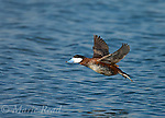 Ruddy Duck (Oxyura jamaicensis), male molting into breeding plumage, in flight, Bolsa Chica Ecological Reserve, California, USA