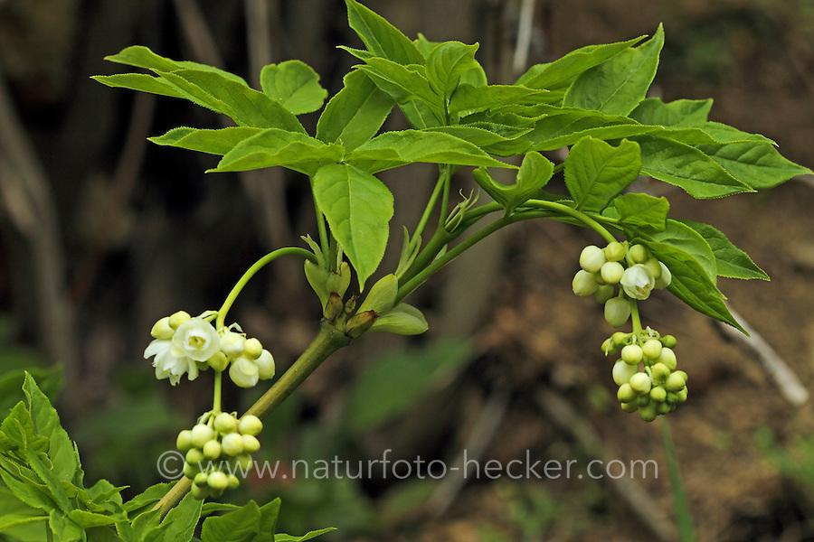 Gewöhnliche Pimpernuss, Pimpernuß, Pimper-Nuss, Pimper-Nuß, Staphylea pinnata, Staphylaea pinnata, European Bladdernut, Faux-pistachier, Staphilier