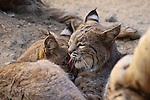 Bobcats grooming at the Living Desert