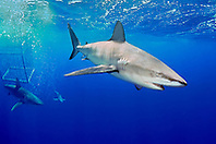 Galapagos sharks, Carcharhinus galapagensis, and shark cage, North Shore, Oahu, Hawaii, USA, Pacific Ocean