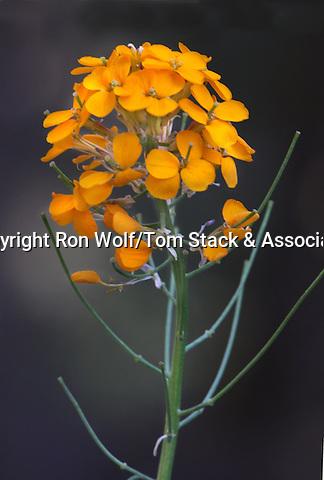 Western Wallflower (Erysimum capitatum) a/k/a Douglas's Wallflower. Crane Flat. Yosemite National Park. Mariposa Co., Calif.