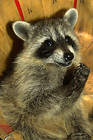 Young raccoon, captive. Utah.