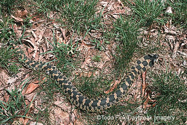 02827-001.09 (TF) (Dupe) Eastern Hog-nosed Snake (Heterodon platyrhinos) Johnson Co., IL