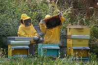 Apicoltori mentre raccolgono il miele dalle arnie. .While beekeepers collect honey from hives....