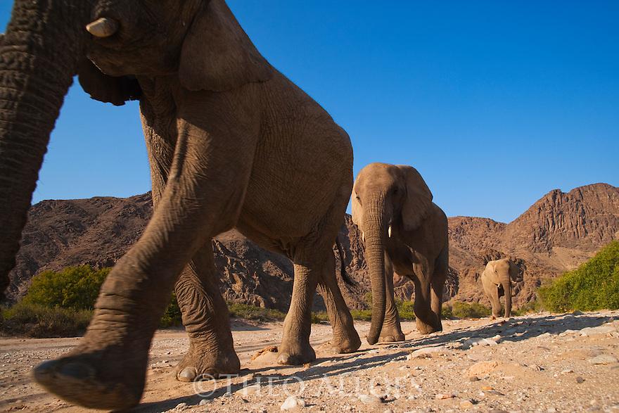 Namibia;  Namib Desert, Skeleton Coast, Hoanib River, desert elephants (Loxodonta africana) walking in dry river bed, low angle shot