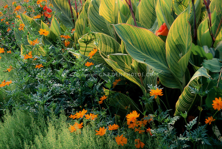 Canna x generalis 'Praetoria' ('Bengal Tiger') & Bassia scoporia, Cosmos sulphureus Polidor', planting combination, variegated foliage leaves, orange and yellow and green hot color combination theme of annual and tender tropical plants together