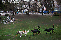 BULGARIA, Sofia, 2012/04/5..Stray dogs roam the streets of central Sofia, Bulgaria..BULGARIE, Sofia, 2012/04/5..Des chiens errants sillonnent les rues du centre de Sofia, Bulgarie..© Pierre Marsaut