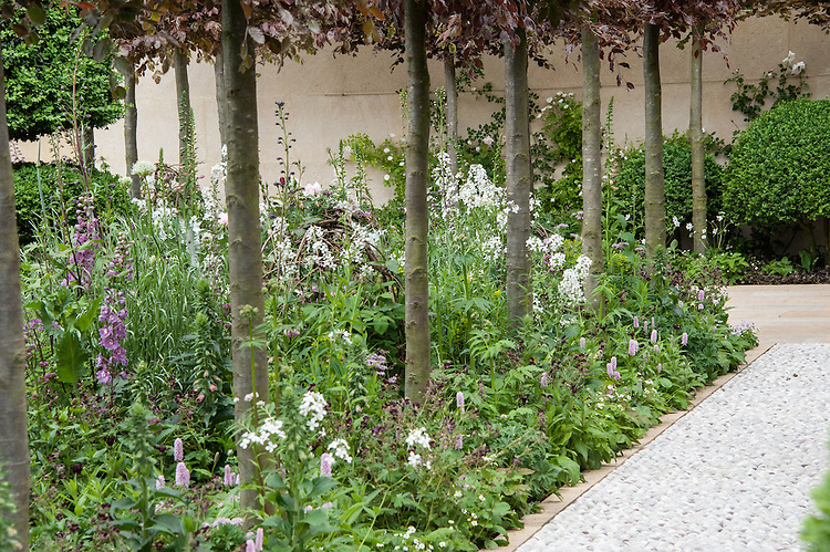 Laurent-Perrier Bicentenary Garden, designed by Arne Maynard, RHS Chelsea Flower Show 2012. Pleached copper beeches underplanted with Delphinium requeneii, white sweet rocket (Hesperis matronalis var. albiflora), Persicaria bistorta 'Superba'.