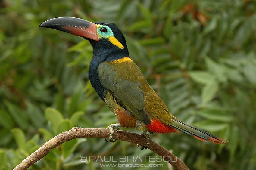 Guyana Toucanet, (Selenidera culik), Male