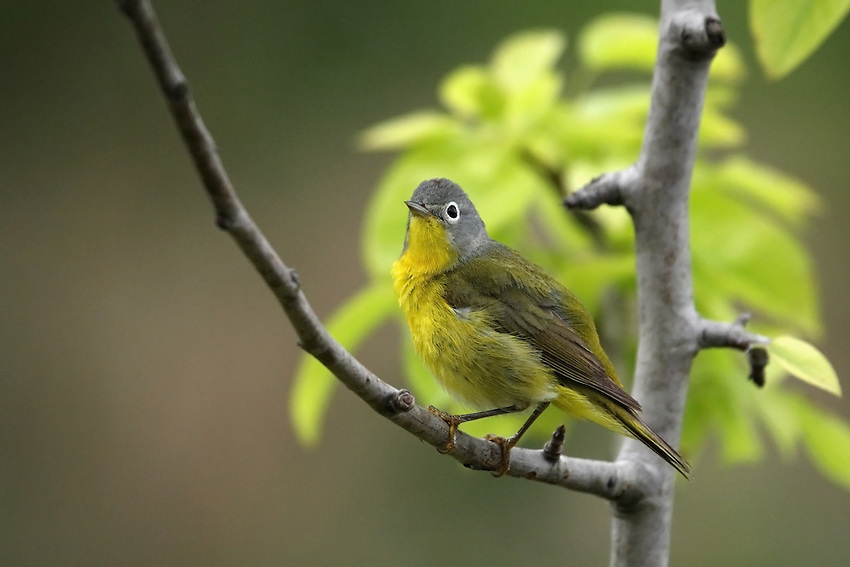 Small, sprightly songbird of second-growth forests, the Nashville Warbler breeds in both north-central North America and an isolated portion of the mountainous Pacific Northwest.