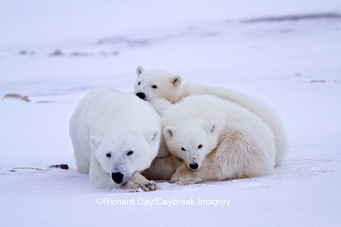 01874-12704 Polar bears (Ursus maritimus)  mother and 2 cubs  in winter, Churchill Wildlife Management Area, Churchill, MB Canada