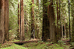 Humboldt Redwoods State Park, Humboldt County, Weott, California; Coast redwoods (Sequoia sempervirens) are the tallest known tree species in the world and Humboldt Redwoods State Park contains the world's largest continuous old growth redwood forest