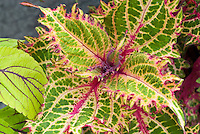 Coleus 'Pete's Wonder' Solenostemon red, green, cream annual foliage plant next to 'Gay's Delight'