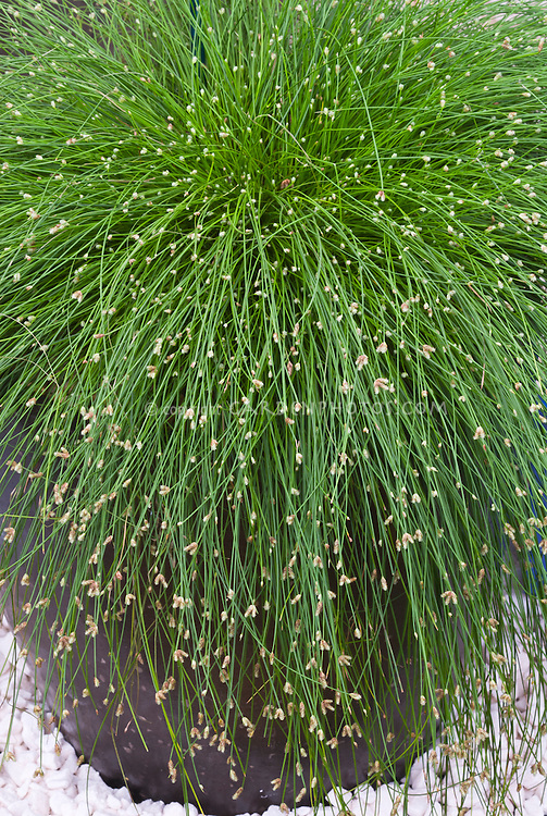 Isolepis cernua fiber optic grass plant flower stock for Small ornamental grasses