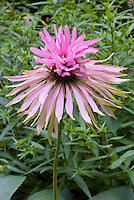 Echinacea purpurea 'Doubledecker' double weird flower shape like a pom pom on top, purple coneflower
