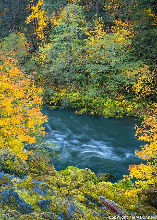 Umpqua National Forest, OR: Big leaf maple in fall color on the North Umpqua River