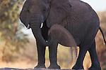 Namibia;  Namib Desert, Skeleton Coast, Huab River, desert elephant (Loxodonta africana) dusting himself