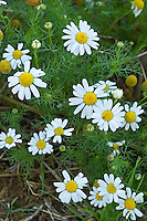 Acker-Hundskamille, Ackerhundskamille, Anthemis arvensis, corn chamomile, mayweed, scentless chamomile, field chamomile, L'Anthémis des champs