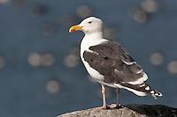 Mantelmöwe, Mantel-Möwe, Möwe, Mantelmöve, Larus marinus, great black-backed gull