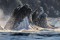 humpback whales, Megaptera novaeangliae, bubble net feeding, note throat pleats extended, Chatham Strait, Alaska, USA, Pacific Ocean
