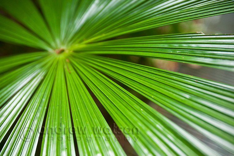 Licuala fan palm (Licuala ramsayi).  Daintree National Park, Queensland, Australia