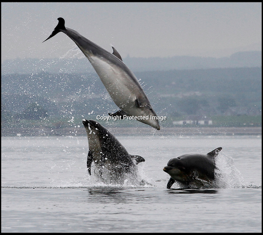 BNPS.co.uk (01202 558833)<br /> Pic: AlistarKemp/BNPS<br /> <br /> ***Please Use Full Byline***<br /> <br /> Spin when your swimming...<br /> <br /> The bottlenose dolphin is well known for being a friendly creature, but this is the moment an entire pod showed another side to their playful nature.<br /> <br /> The clever animals had been laying in wait for the annual 'Salmon Run', where they could be guaranteed a tasty snack as hundreds of fish made the upstream struggle.<br /> <br /> As schools swam from the sea back to freshwater to spawn, a group of dolphins showed off their predatory skills and began to hunt them.<br /> <br /> They performed incredible acrobatic skills as they shot into the air and sometimes two or three would attempt to go after the same fish.<br /> <br /> The pod of 20 dolphins were spotted hunting their supper at Chononry Point near Fortose on the Moray Firth in Scotland.<br /> <br /> There is believed to be around 300 bottlenose dolphins - Tursiops truncatus in Latin - in the area, which is the most northern colony in the world.<br /> <br /> Amateur photographer Alister Kemp, 47, was watching from the shore and managed to captured a series of stunning shots.