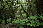 Ferns, moss and lichen on trees in the damp forest of La Gomera,Canary Islands.