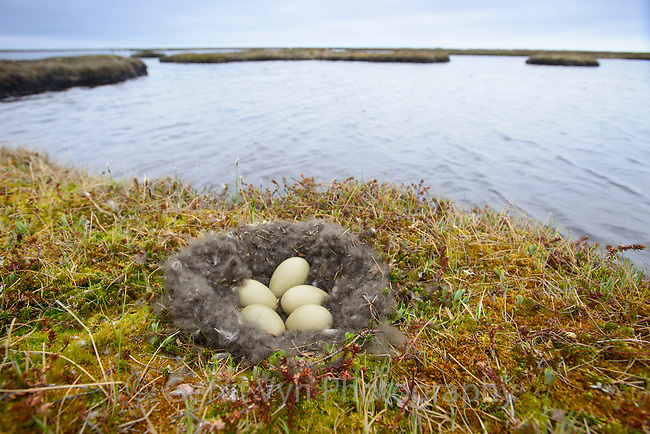 Nest and eggs of a Spectacled Eider (Somateria spectabilis). Yukon Delta National Wildlife Refuge, Alaska. June.