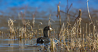 American coot in northern Wisconsin