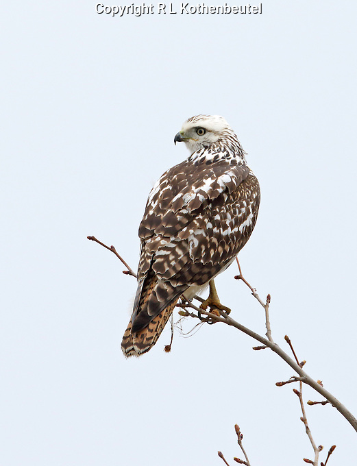 A light morph Harlan's hawk perches in a small sapling to hunt voles in the grass below.<br /> Near Bayview, Washington<br /> 3/22/2015