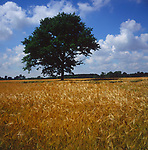 A3AAK8 Tree in field of golden barley Suffolk England