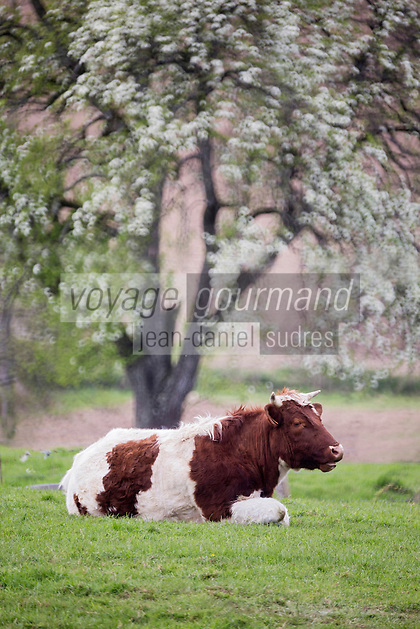 Europe/France/Normandie/Basse-Normandie/50/Manche/Env de Mortain: Vache dans le  Bocage normand
