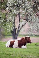 Europe/France/Normandie/Basse-Normandie/50/Manche/Env de Mortain: Vache dans le  Bocage normand