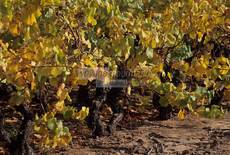 Europe/France/Pays de la Loire/44/Loire-Atlantique/Env Le Loroux-Bottereau : Vignoble AOC Muscadet du Sèvre et Maine - Pieds de cépage melon