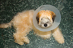 Dog with protective coller.