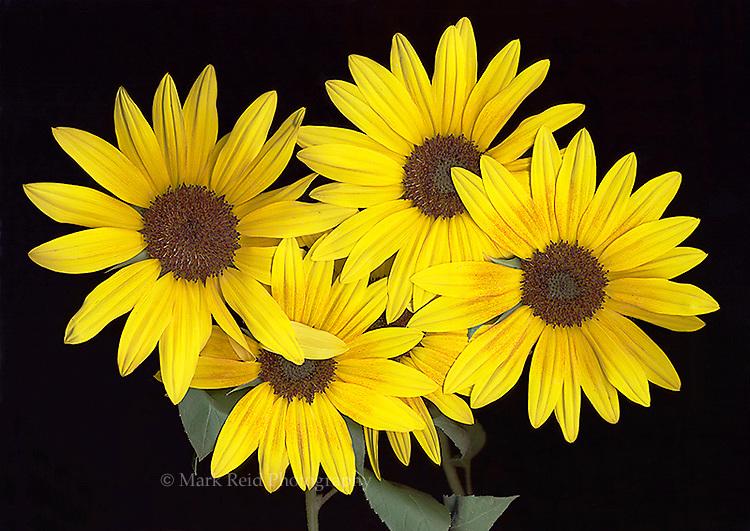Sunflowers from a friends garden