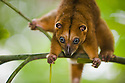 Dwarf cuscus (Strigocuscus celebensis)feeding on leaves in tree, marsupial, close-up, Indonesia, Sulawesi, vulnerable species, threatened through loss of habitat