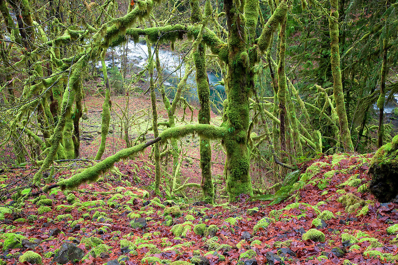 Moss on trees and rocks with Eagle Creek. Columbia River Gorge National Scenic Area, Oregon