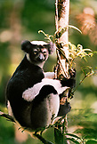 MADAGASCAR, Indri Indri Lemur sitting in a tree, Analamazaotra National Park