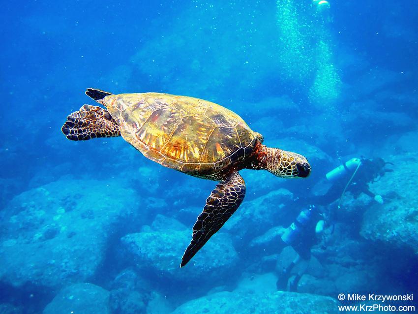 Hawaiian Green Sea Turtle (honu) swimming underwater w/ scuba divers
