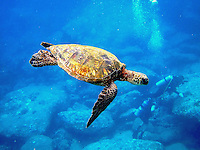 Hawaiian Green Sea Turtle (honu) swimming underwater w/ scuba divers