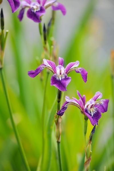 Iris versicolor 'Rowden Anthem'