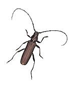Musk Beetle - Aromia moschata