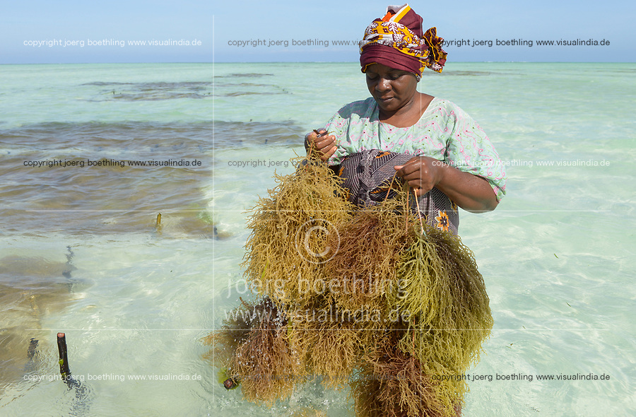 TANZANIA, Zanzibar, Paje, women plant seaweed near the beach, the red algae is used to extract carageenan as thickener for cosmetics and the food  industry / TANSANIA, Sansibar, Paje, Frauen pflanzen Rotalgen am Strand, aus den essbaren Algen wird Carrageen als Verdickungsmittel fuer Kosmetik und die Nahrungsmittelindustrie gewonnen, z.B. Eis, Cola, Syrup, Saft usw.